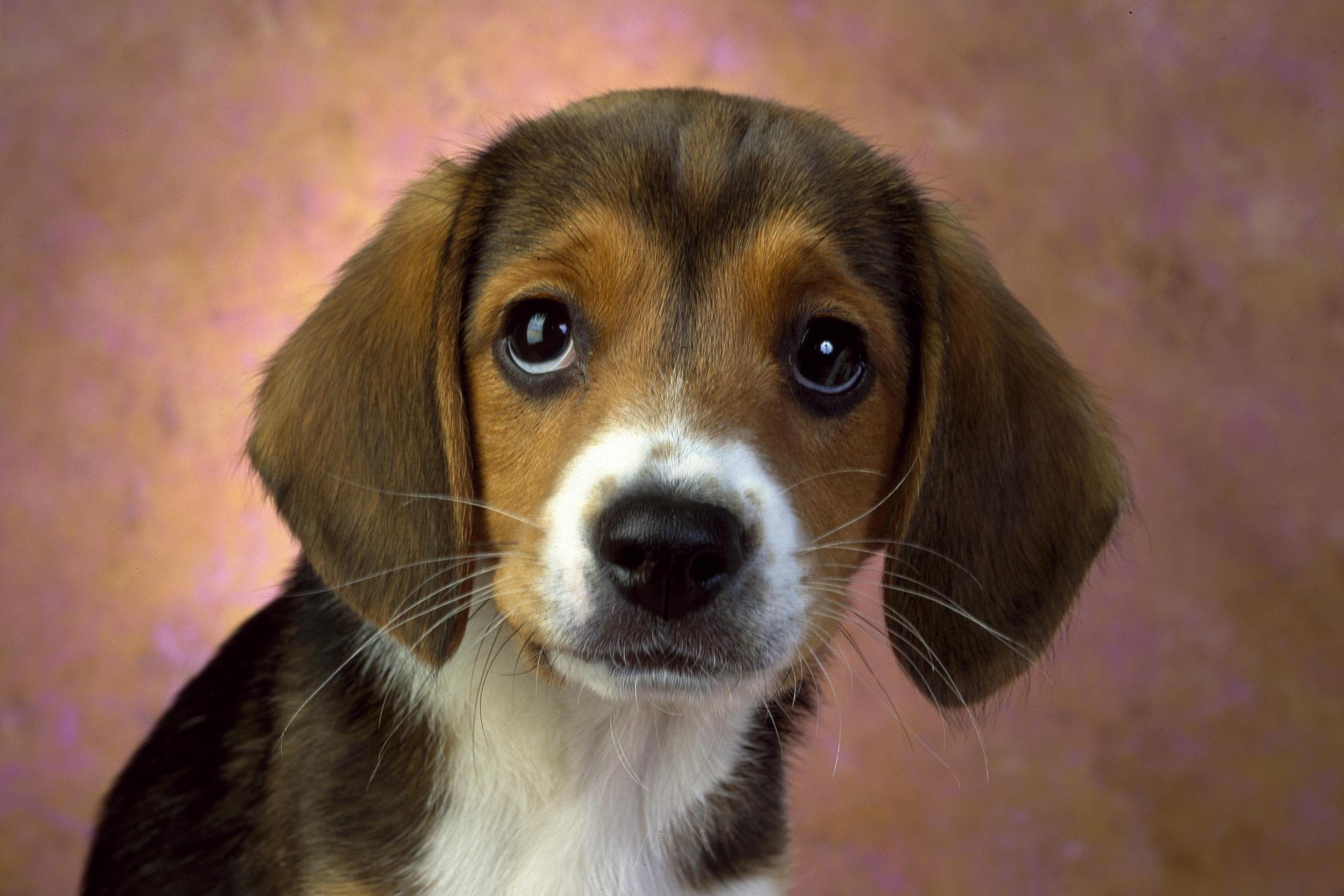 Beagle, une bonne source d'infos pour tout savoir